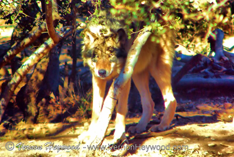Watching the visitors to the California Wolf Center from the safety of cover.